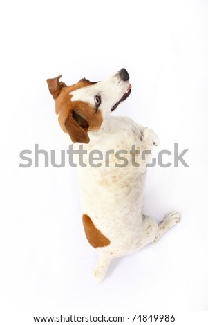 Begging Jack Russell Terrier - stock photo