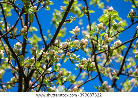 Beginning of Blossoming apple tree in spring, may. A lot of young small Apple Flowers in many branches.Natural background of a variety of flowers blooming apple trees in the early spring. On blue sky - stock photo