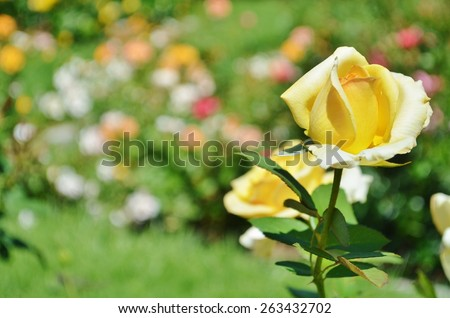 beginning to bloom.  The rose is in a garden surrounded by several other rose bushes that are blurred in the background - stock photo