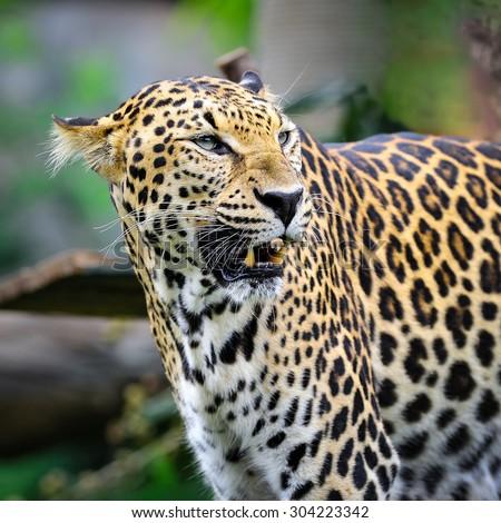 Behavior of leopards. - stock photo