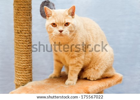 beige british cat sits on a cat tower on a blue background