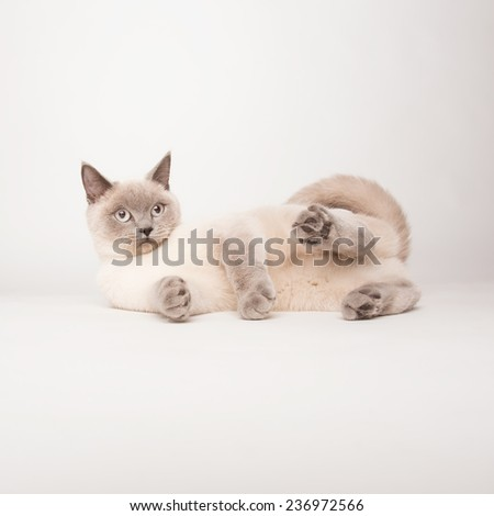 Beige cat photographed on a white background  - stock photo