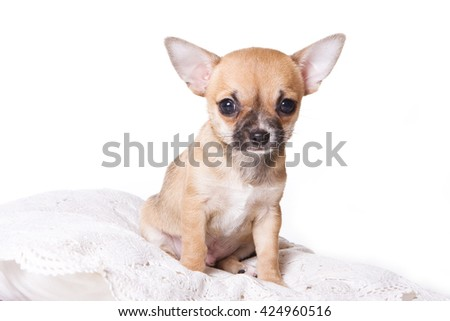 Beige chihuahua puppy dog on a pillow (isolated on white)