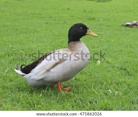 Beige coloured duck standing on green grass
