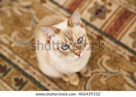 Beige Mekong cat on the soft carpet - stock photo