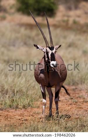 Beisa Oryx antelope in Samburu National Reserve, Kenya - stock photo