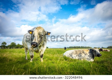Belgian Blue Bull and Cow on a sunny day, belgium - stock photo