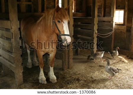 Belgian Draft Horse and Friends in a clean barn in the Midwest