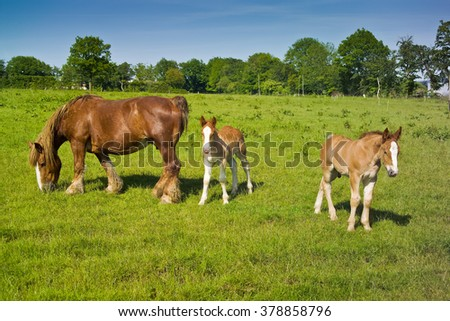 Belgian draft horse mare grazing with two foals