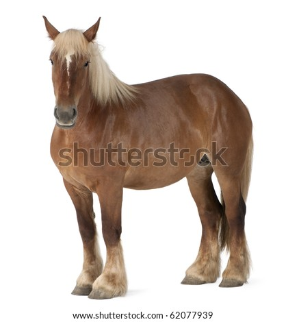 Belgian horse, Belgian Heavy Horse, Brabancon, a draft horse breed, 4 years old, standing in front of white background