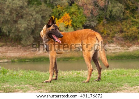 Belgian Malinois young puppy in the park fields