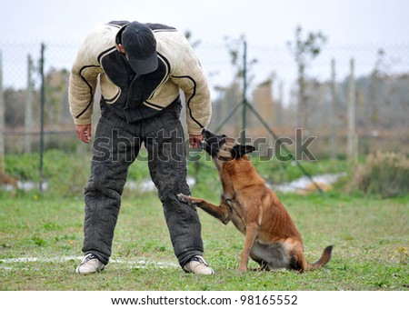 belgian sheepdog malinoisl in a competition of ring - stock photo