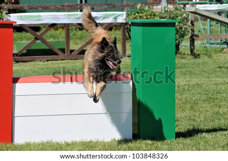 belgian sheperd in agility training - stock photo