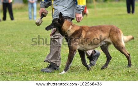 belgian shepherd - stock photo