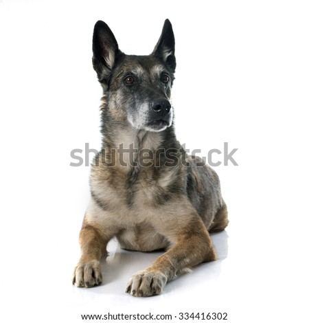 belgian shepherd dog in front of white background - stock photo