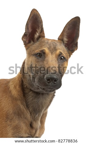 Belgian Shepherd Dog (Malinois)puppy in front of a white background