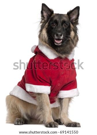 Belgian Shepherd dog or Tervuren wearing Santa outfit, 11 years old, sitting in front of white background - stock photo