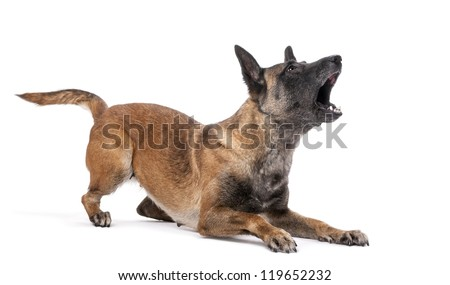 Belgian Shepherd lying in attack posture and barking against white background - stock photo
