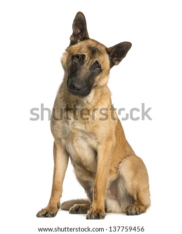 Belgian Shepherd sitting with a  wondering look, 10 months old, isolated on white