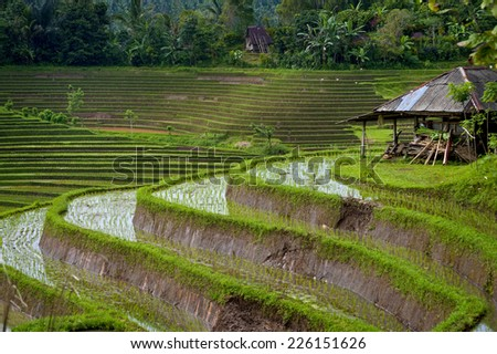 Belimbing, Bali, Indonesia. The spectacular rice terraces of Belimbing, Bali with a volcano in the background. - stock photo