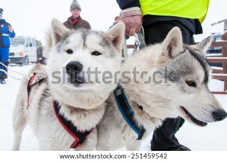 BELIS, ROMANIA - FEBRUARY 6: Samoyed dogs ready for the start of the First Dog Sled Racing Contest. On February 6, 2015 in Belis, Romania