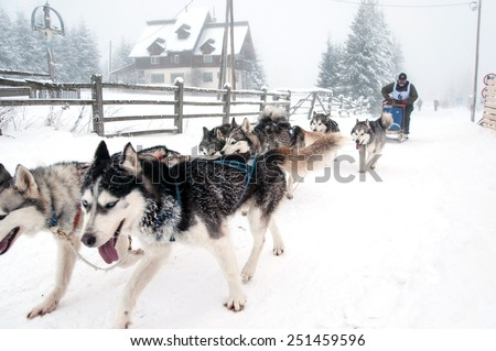 BELIS, ROMANIA - FEBRUARY 6: Unidentified man participating in the First Dog Sled Racing Contest with Husky dogs. On February 6, 2015 in Belis, Romania - stock photo