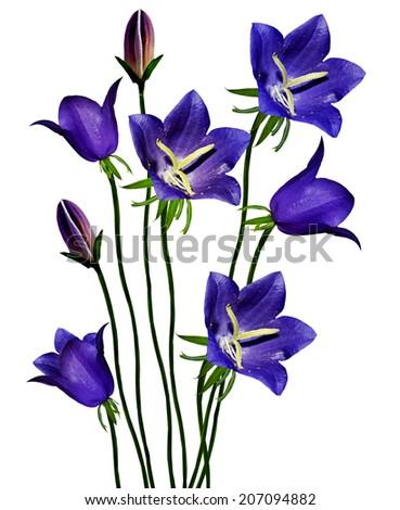 iris sibirica purple pansy rachael edwards