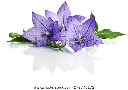 Bell flowers isolated on white  background - stock photo