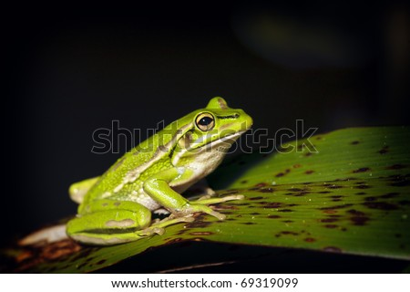 Bell Frog - stock photo