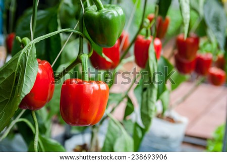 Bell pepper on the tree ready to be sold and eaten. - stock photo