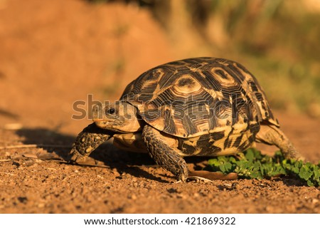 Bell's hinge-back tortoise (Kinixys belliana) walking in warm light