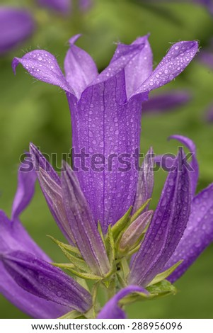 Bellflower, Campanula carpatica in early spring located in New York City - stock photo