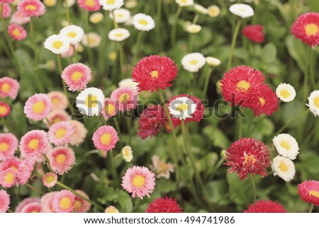 Bellis Perennis, colorful flowers in the garden, filter effect