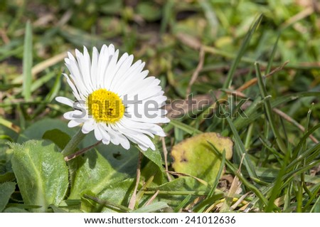 Bellis perennis growing on grass. It is a common European species of daisy  - stock photo