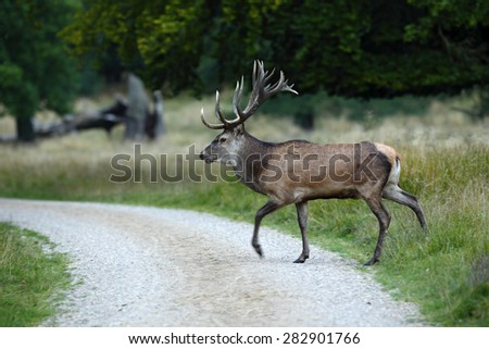 Bellow majestic powerful adult red deer crossing the road, Dyrehave, Denmark - stock photo