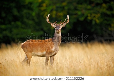 Bellow majestic powerful adult red deer stag outside autumn forest, Dyrehave, Denmark  - stock photo