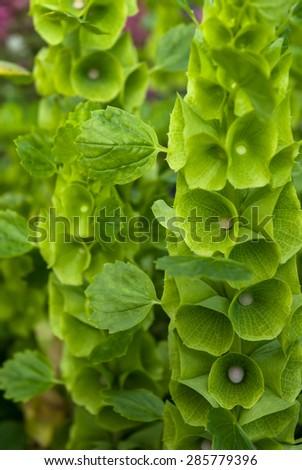 Bells of Ireland (Moluccella laevis) flower detail. - stock photo
