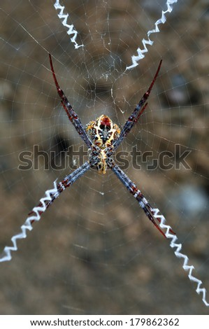 belly spider on web - stock photo