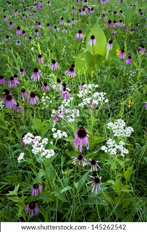 Belmont Beauty Coneflowers, prairie dock and wild quinine grace the summer prairie at Belmont Prairie Nature Preserve in Downers Grove, Illinois. - stock photo