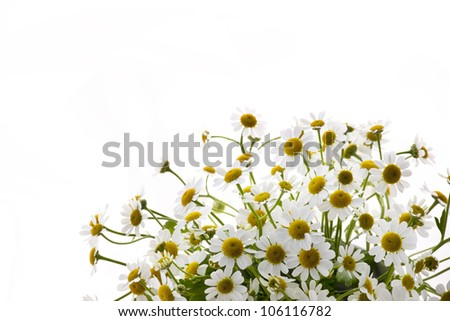 belonging to daisy family matricaria - stock photo
