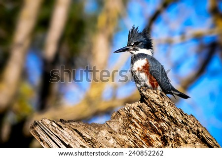 Belted Kingfisher - stock photo