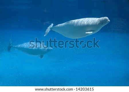 beluga whale and baby - stock photo