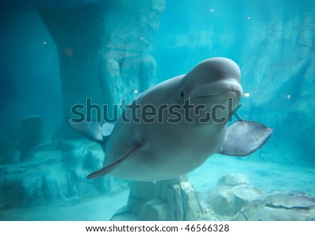 Beluga whale in clear blue water - stock photo