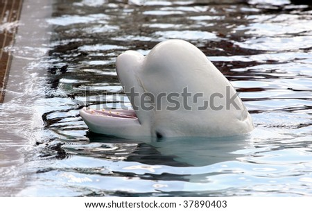 beluga whale playing in clear blue water - stock photo