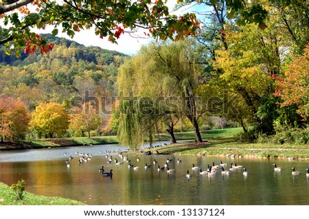 Beneath weeping willows a flock of geese swim lazily on the still surface of beautiful river. River is in Asheville North Carolina in the Fall. - stock photo