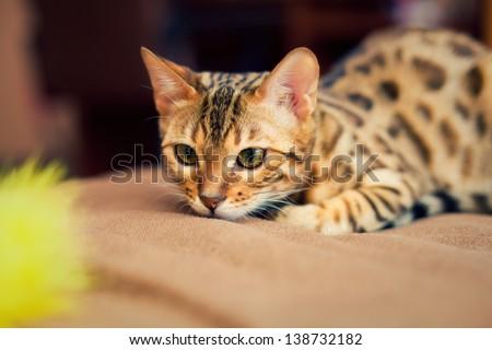 Bengal cat - stock photo