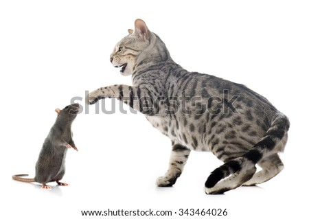 bengal cat and rat in front of white background - stock photo