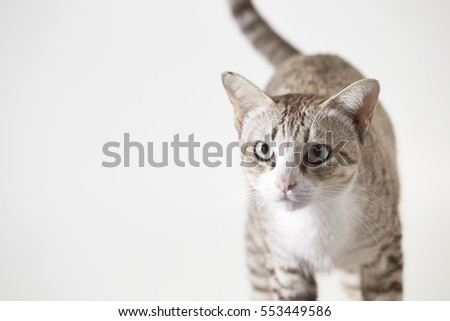 Bengal cat in light brown and cream looking with on white background