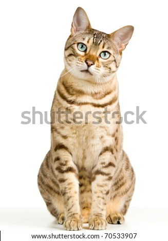 Bengal cat in light brown and cream looking with pleading stare at the viewer with space for advertizing and text