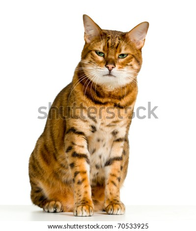 Bengal cat in orange and brown stripes like a tiger looking with angry stare at the viewer with space for advertizing and text - stock photo